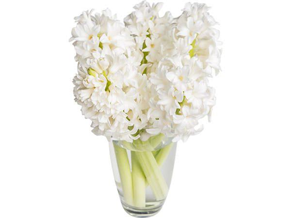 Flowers Hyacinthe