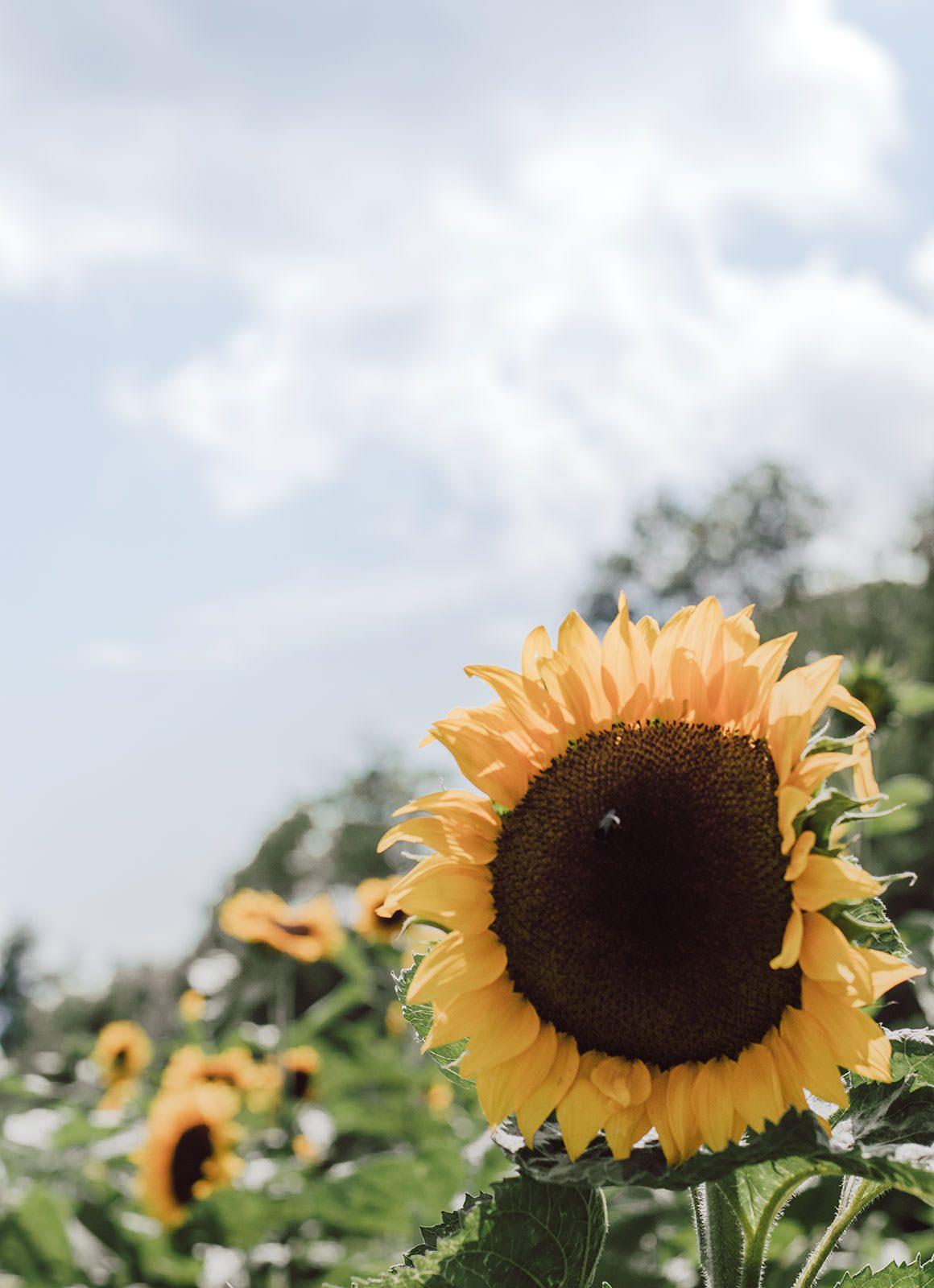 Swiss Sunflower Field